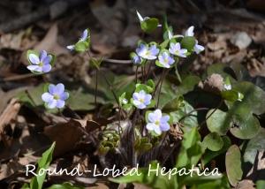 Round-lobed Hepatica